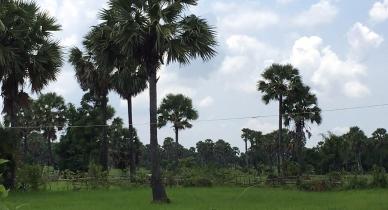 kamkav cambodian palm blossom tree